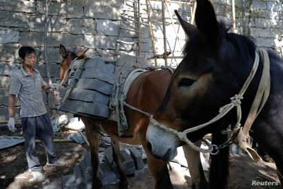 """A worker unloads bricks from mules at the Jiankou section of the Great Wall, in Huairou District, north of Beijing, China, June 7, 2017. """"The path is too steep and the mountains are too high, so bricks can only be transported by mules,"""" said local mu..."""