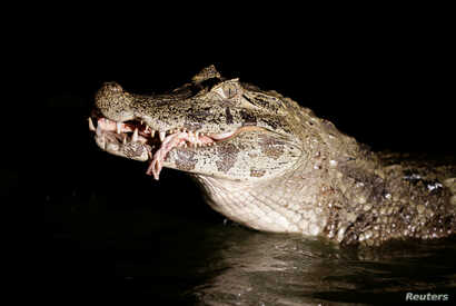 A yacare caiman eats beef offal in a pond at the San Jorge ranch in General Diaz, Paraguay, Aug. 14, 2016.