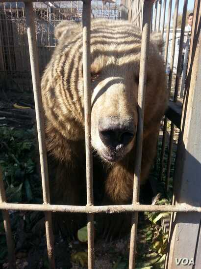 The brown bear in Mosul's Murur Park Zoo, Feb. 2, 2017. (Credit: Kurdistan Organization of Animal Rights Protection)