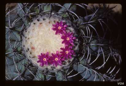 Illegal trade contributes to placing cacti like Melocactus glaucescens among the world's most endangered species. (Nigel Taylor)