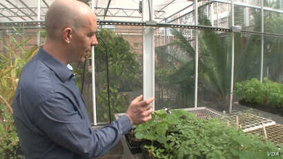 Rob Dunn looks for unwanted insects in a greenhouse at North Carolina State University. (S. Baragona/VOA)