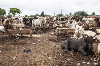 Cattle are pictured at a market in the outskirts of Enugu, Nigeria, May 3, 2016. (C. Stein/VOA)