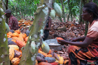 Farmers break cocoa pods in Ghana's eastern cocoa town of Akim Akooko September 6, 2012.