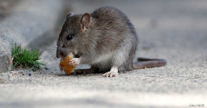 FILE - A rat eats pieces of bread thrown by tourists near the Pont-Neuf bridge over the river Seine in Paris, France, Aug. 1, 2017.