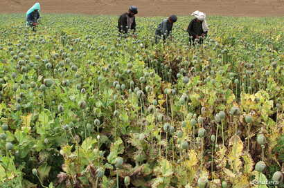 Afghan farmers work on a poppy field in the Gereshk district of Helmand province, Afghanistan, April 8, 2016.