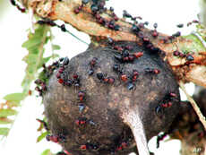 In their role as bodyguards, Crematogaster ants protect the Acacia tree against elephants.
