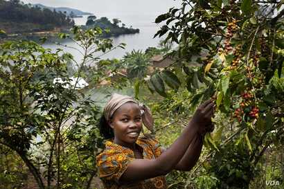 Bichera Ntamwinsa,23, picks berries from her coffee plants in Bukavu, Democratic Republic of the Congo. Farmer field schools and agricultural cooperatives can help smallholder farmers gain skills while strengthening their common voice. (UNESCO/Tim Di