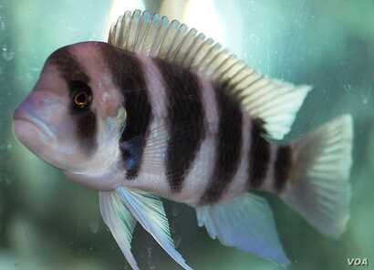 A Male Frontosa Cichlid, one of the common fish of Lake Tanganyika. By Maha Dinesh