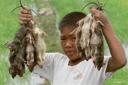 Filipino farm boy Dave Salvacion shows his catch of rats from the ricefields of the Santa Rosa town of Nueva Ecija, north of Manila February 3. The government has launched a rat control campaign, prodding the farmers and residents of Santa Rosa to ca