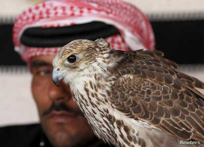 FILE - A man sits next to his falcon as he waits to participate in the Qatar International Falcons and Hunting Festival at Sealine desert, Qatar, Jan. 29, 2016.