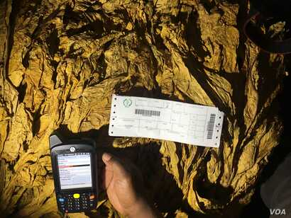 A tobacco buyer is seen testing the new tobacco electronic auctioning system. The system went down on the first day forcing Zimbabwe's Tobacco Industry Marketing Board to revert to the old system, under pressure of impatient farmers, in Harare, Mar...