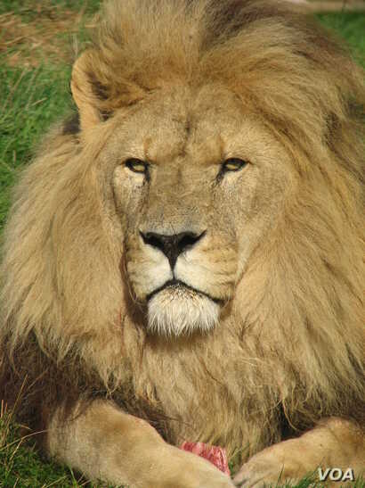 The African lion is most at risk in the eastern and western parts of the continent due to habitat loss, poaching and encounters with herders  (Credit: Hilton-Taylor)