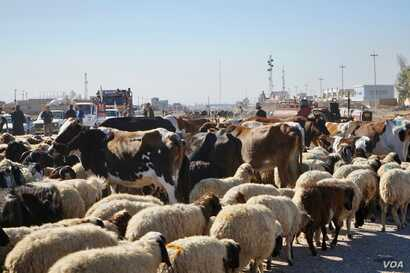 "Roads out of Mosul were clogged Thursday with sheep as families insisted on taking their livestock with them as they left the outer suburbs of Mosul,"" Nov. 3, 2016. (Photo: Jamie Dettmer for VOA)"