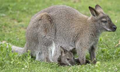 FILE - A baby kangaroo looks out from its mother's pouch in the Zoo in Erfurt, central Germany.