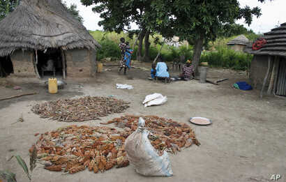 FILE - In this photo taken on Saturday, Sept. 17, 2016, farmers lay out sorghum, a wheat-like primary food source, for people living in Aweil, South Sudan.