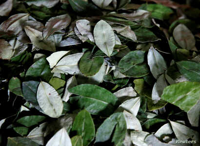 Coca leaves of Yungas region are pictured at the Coca Growers Association market in La Paz, Bolivia, March 7, 2017.