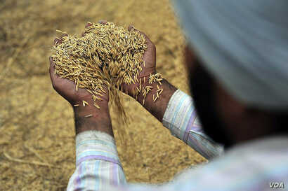 Freshly threshed rice near Sangrur, India. Salt water encroachment, flooding and droughts are more likely as the climate changes, which could impact crops such as rice. (Neil Palmer/CIAT)