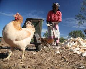 Farmer Celeste Sitoe raises maize and chickens in Lhate village, Mozambique.