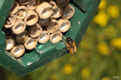 A solitary female bee returning to the nest, filled with tubes where she builds brood cells. (Morgan Boch)