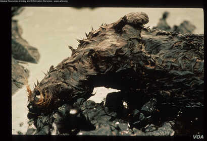 A dead otter is among hundreds of thousands of animals oiled or killed by the Exxon Valdez oil spill. (Credit: Alaska Resources Library and Information Service)