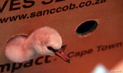 A rescued lesser flamingo chick peers out of a box after being moved from a dam in the Northern Cape province to the SANCCOB rehabilitation center in Cape Town, South Africa  Jan. 30, 2019.