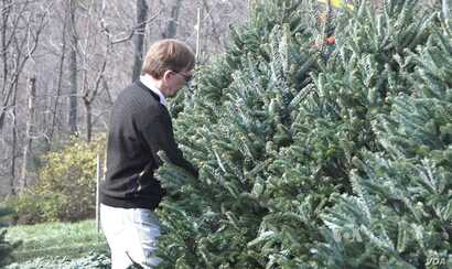 A customer at Krop's Crops in Great Falls, Va., considers Christmas tree options.