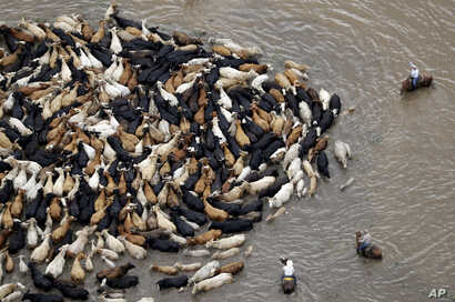Cattle are herded through floodwaters toward higher ground, near Chenango, Texas, June 4, 2016. Parts of Texas have been inundated with rain in the last week, and more than half of the state has been under flood watches or warnings.