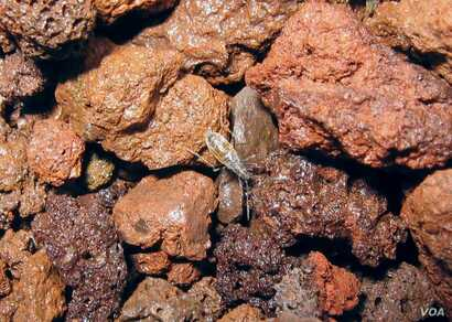 A Wekiu bug (Nysius wekiuicola) on volcanic cinder, Mauna Kea, at 13,400 feet (4,085 m) elevation.