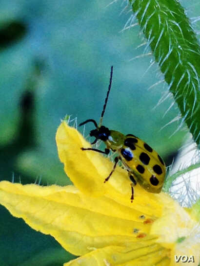FILE - A bug stands on the petals of a flower in a house garden in Virginia. (Photo: Diaa Bekheet). A study estimates a 14 percent decline in ladybugs in the United States and Canada from 1987 to 2006.