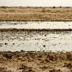 In the SRI fields, a very shallow layer of water is brought into the plot after planting, just enough to cover the soil. This helps the plants to better connect their roots with the soil