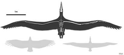 Line drawing of Pelagornis sandersi, showing comparative wingspan. Shown left, a California Condor, shown right, a Royal Albatross. Line art by Liz Bradford. (Bruce Museum)