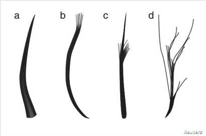 The four feather types: filaments, filament bunches, tufted filament, and down feather, based on Jurassic Period fossils unearthed in China, are seen in this illustration handout, released from University of Bristol in Bristol, United Kingdom, Dec. 1...
