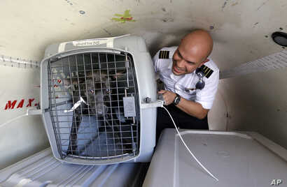 Wings of Rescue co-pilot Jose G. Martinez reaches for one of the last of of a load of 35 dogs from Texas shelters flown to make space for companion animals rescued in the Hurricane Harvey aftermath, in Seattle, Aug. 30, 2017.