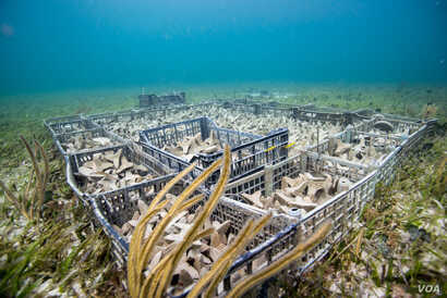 Coral seeding units being readied to be planted on a reef. Hope for Reefs hopes to seed one million global corals by 2021.