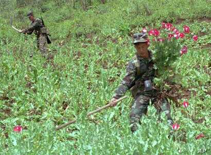 Two Thai solidiers trim poppies in a Chiang Mai field in December, 1996. Southeast Asia's Golden Triangle, the rugged area where the borders of Burma, Laos and Thailand meet, provides about 60 percent of the world's supply of heroin and opium. (AP Ph...