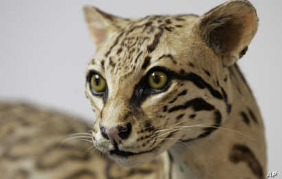 FILE - An Ocelot cat display is seen at the Santa Ana Wildlife Refuge visitor center near Alamo, Texas, May 9, 2007. Wildlife enthusiasts fear this site could be spoiled by the fences and adjacent roads the U.S. government plans to erect along the M...