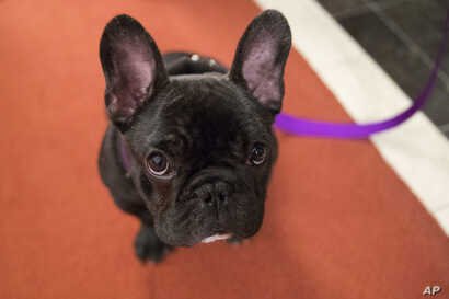 Pua, a 5-month old French bulldog, poses for photographers during a news conference at the American Kennel Club headquarter,  March 28, 2018, in New York.