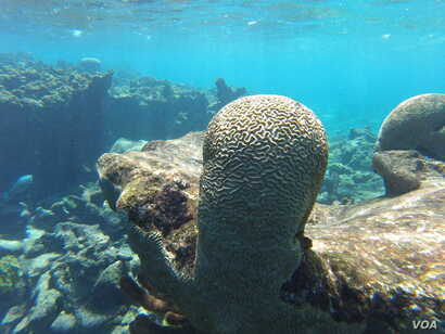 Brain corals are found in shallow warm-water coral reefs in all the world's oceans.