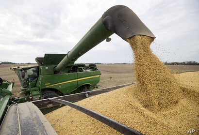 FILE -Soybeans are offloaded from a combine during the harvest in Brownsburg, Indiana, Sept. 21, 2018.