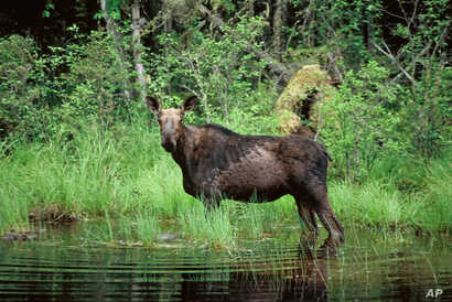 FILE - A moose wades in Superior National Forest near the Boundary Waters Canoe Area, Minn.  Scientists blame warming climate for a drastic decline in the moose population.