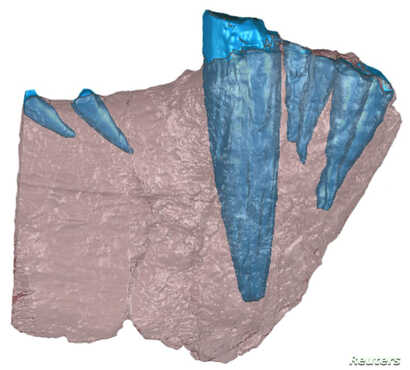 A handout image of a CT scan of the front half of a lower jaw bone of a saber-toothed mammal-like beast that prowled Tanzania 255 million years ago. Bone is shown in red and teeth are in blue. This is not the specimen in which the odontoma was found;...