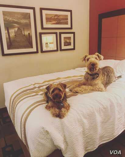 Annie and Josie, Nila Belfiore-Dulay's dogs, seem very comfortable at their temporary lodging in Florida. (N. Belfiore-Dulay)