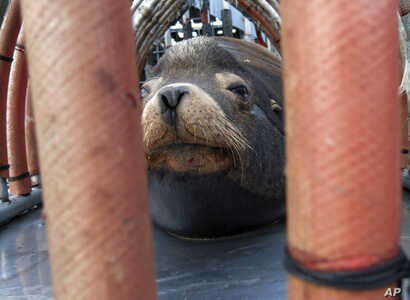 "FILE  - In this March 14, 2018, file photo, a California sea lion peers out from a restraint nicknamed ""The Squeeze"" near Oregon City, Oregon, as it is prepared for transport by truck to the Pacific Ocean about 130 miles away."