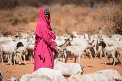 A woman waits with her goats to get them water from a well in the Somaliland region of Somalia on Feb. 9, 2017. (VOA/Jason Patinkin)