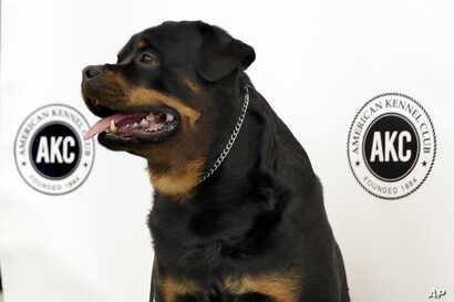 Talos, a Rottweiler, poses for photos as the American Kennel Club's breed rankings are announced in New York, March 21, 2017. At No. 8, the Rottweiler posted its highest ranking in almost 20 years.
