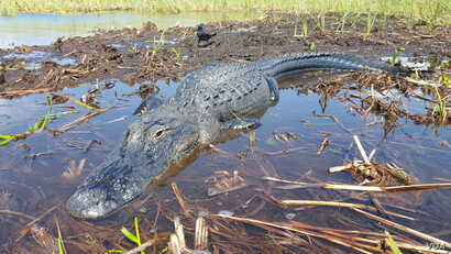 Florida Everglades wildlife, such as this alligator, are threatened by intentional flooding and other environmental degradation. (W. Gallo/VOA)