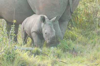 In South Africa, the race is on to save the lives of rhinos such as this from being wiped out by ruthless poachers