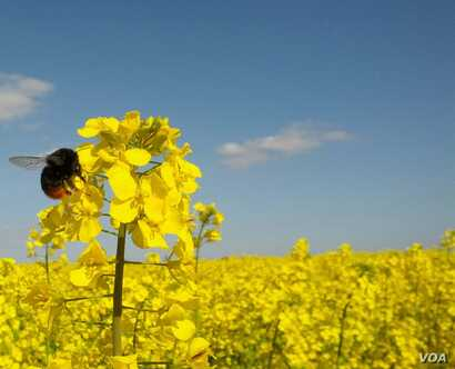 A foraging red-tailed bumblebee, Bombus lapidaries, visiting an oilseed rape flower in a field in the south of England. (Jonathan Carruthers)