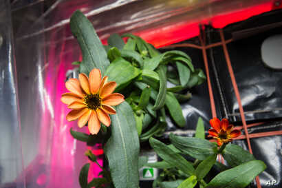 FILE - This Jan. 16, 2016, photo made available by NASA shows a blooming zinnia flower grown aboard the International Space Station. As far back as 1984, NASA started testing plants for their air filtration qualities.