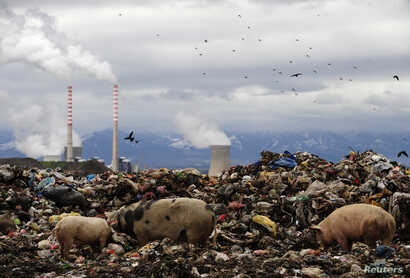 FILE - Pigs feed on a waste dumped near the cooling towers of a coal power plant near the southern town of Bitola, 200 km (124 miles) from the capital Skopje, in Macedonia, Dec. 10, 2009.